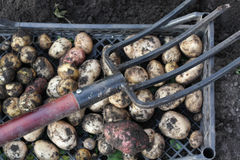 Potato crop in Siberia Royalty Free Stock Images
