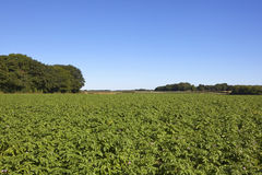 Potato crop with trees Royalty Free Stock Photos