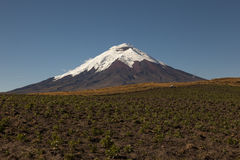Potato crops in Cotopaxi Royalty Free Stock Photography