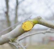 Potato e protetto di inverno di melo Immagine Stock