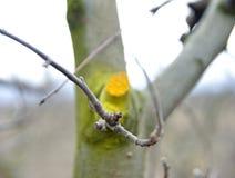 Potato e protetto di inverno di melo Fotografia Stock Libera da Diritti