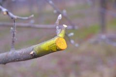 Potato e protetto di inverno di melo Immagini Stock