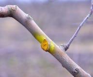 Potato e protetto di inverno di melo Fotografia Stock