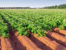 Potato Farm Royalty Free Stock Photo