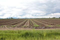 A Potato Farm Royalty Free Stock Photography