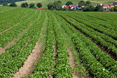 Potato farm. Natural farm on Slovakian village Royalty Free Stock Photo