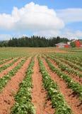 Potato Farm Royalty Free Stock Photography