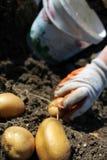 Potato farm in the field Royalty Free Stock Image