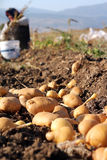 Potato farm in the field Royalty Free Stock Photos