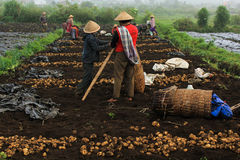 Potato farm. Potatoes are being cultivated by the farmers Royalty Free Stock Photography