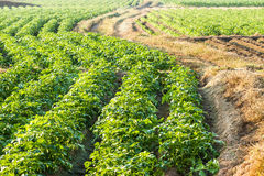 Potato farmland Stock Images