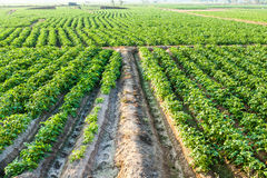 Potato farmland Stock Photo