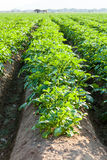 Potato farmland Royalty Free Stock Photo