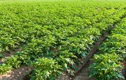 Potato farmland Stock Images