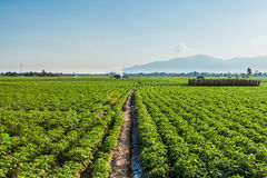 Potato farmland Stock Image