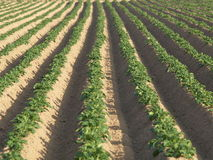 Potato field. Structure of  a potato field Stock Photography