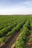 Potato field Stock Photography