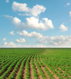 Potato field. Straight lines of a potato field stock images