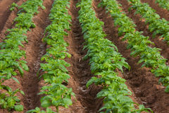Potato field. Field of potatoes at a farm in the spring Stock Image