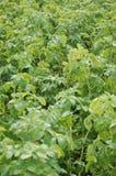 The potato field. Royalty Free Stock Photos