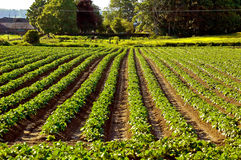 Potato Field. Rows of potato plants in field Royalty Free Stock Photos