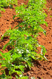 Potato field. Young growing potato field, plants in a line Royalty Free Stock Photography