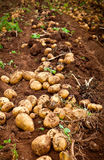 Potato field. Fresh and raw potato on a field Royalty Free Stock Images