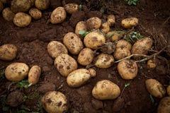 Potato field. Fresh and raw potato on a field Royalty Free Stock Image