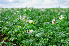 Potato field Royalty Free Stock Photography
