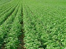 Potato field. Under bright summer sun Royalty Free Stock Photo