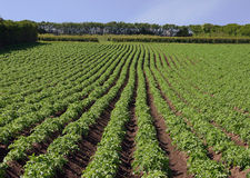 Potato Field. Lines of potatoes growing in a field Royalty Free Stock Images