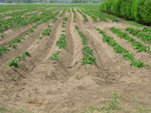 Potato field. Potato-growing field in spring Stock Images