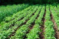 Free Potato Field Stock Image - 20026601