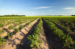 Potato field. Agricultural field on which grow up a potato Stock Images