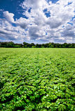 Potato field. A field of bright green potato plants growing under a nice cloudy blue sky stock photos