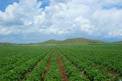 Potato-field Stock Photography