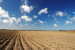 Potato field. Agriculture, a potato field on a sunny summer day, blue sky with puffy clouds Royalty Free Stock Photo