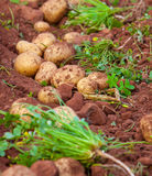 Potato field. Field of fresh raw potato during harvest Royalty Free Stock Photography