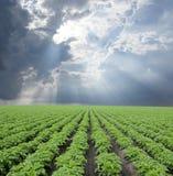 Potato Field Stock Images
