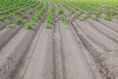 Potato field Royalty Free Stock Photo