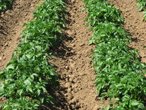 Potato field. The rows of potato plants in field Royalty Free Stock Photography