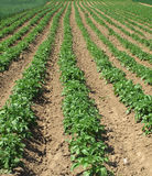 Potato field. The rows of potato plants in field Royalty Free Stock Photo