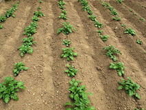 Potato field. The raws of potato plants in field Stock Images