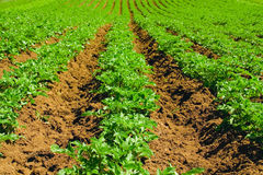 Potato field Royalty Free Stock Image
