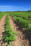 Potato field Stock Images