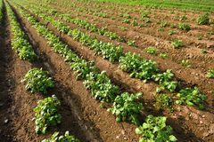 Potato field. A potato field; neat rows stock image