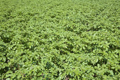Potato field. The field of green potato tops Royalty Free Stock Images