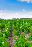 Potato field. Stock Photo