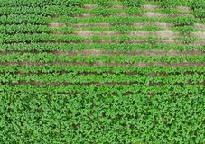 Potato field aerial view. From drone Stock Image