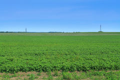 Potato field Stock Photo